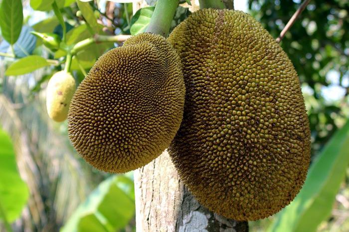 Jackfruit - veganer Fleischersatz